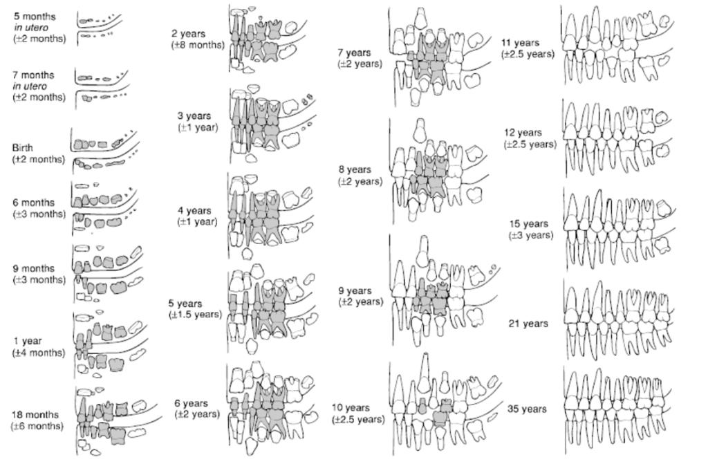 "Dental eruption chart from ""Human Osteology"", Academic Press, 3 ed. (2011) - Tim D. White, Michael T. Black & Pieter A. Folkens"