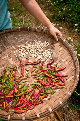 Drying harvested chillis