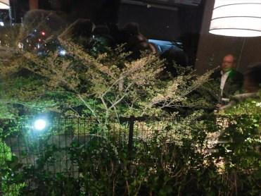 今は新緑ですが、この窓から眺める桜は最高です。