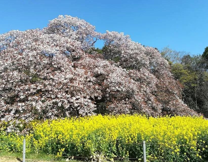 2019/04/13 吉高大桜03。