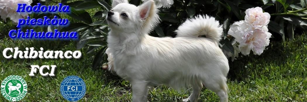 Hodowla Chihuahua Chibianco FCI