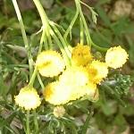 野良猫除け対策に植えたタンジーだけど冬なのに花が咲いてます