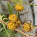 真冬でも花を咲かせているタンジーの葉を間引いたよ。ローズマリーも元気です