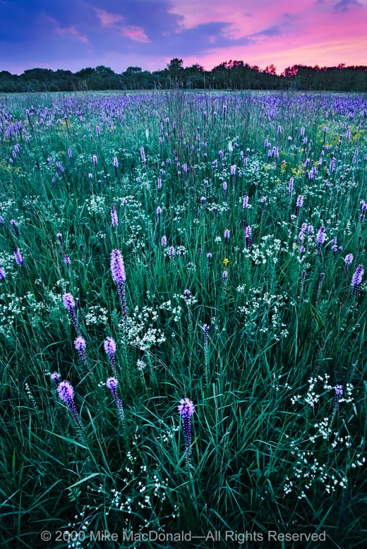 Gensburg-Markham Prairie is famous for its late July fanfare, when the fields ignite with white sparks of flowering spurge and purple torches of marsh blazing star.*