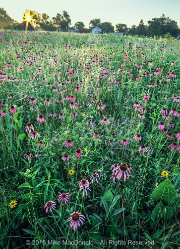 Belmont prairie is special because it is home to an unusually high number of blooming wildflowers and fascinating plant species. During the month of June, this remnant prairie puts on a most impressive floral display: the celebration of the pale purple coneflower. Mixed amongst the coneflowers, the bright-colored grasses crisscrossing the center of the frame are porcupine grass. Its long spear-like seeds miraculously drill themselves into the earth in a counter-clockwise motion that you can actually watch.