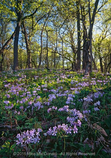 In May, woodland phlox covers the bluffs at Black Partridge Woods.*