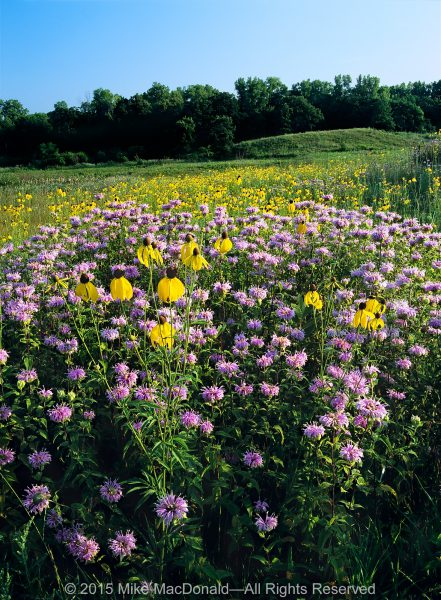 """""""Lavender in color and mint in fragrance"""" describes wild bergamot. """"Whimsical with an aroma of anise"""" describes yellow coneflower. Both are native to the prairie, and both are healers. Known as pioneer species, they are among the first plants to colonize disturbed or degraded areas. Their presence improves soil quality while allowing other plants to move in, leading to greater biodiversity.*"""