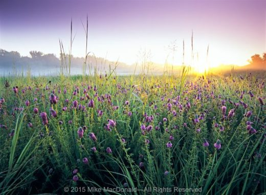 There's hardly a dull moment in Bluff Spring Fen's prairie. Just as blooms of leadplant and coreopsis fade, purple prairie clover rises to take their place.*