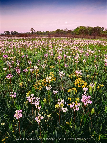 Springtime wildflowers bloom in profusion at Chiwaukee Prairie in Pleasant Prairie, Wisconsin.*
