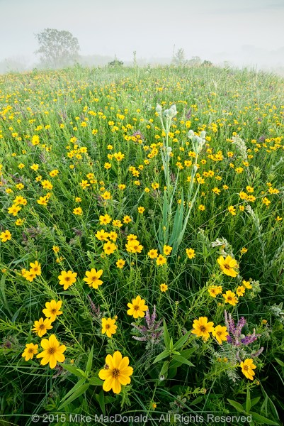 Atop this hill prairie, deep-rooted leadplants combine with the happy yellow faces of coreopsis as they shine through the dissipating fog.*