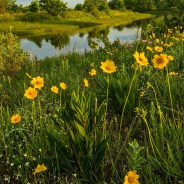 Chicago Wildflower Report & Info – 06/20/2019