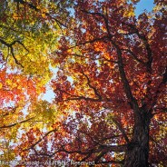 Chicago Fall Color Report, Nature Info & News – 11/03/2017