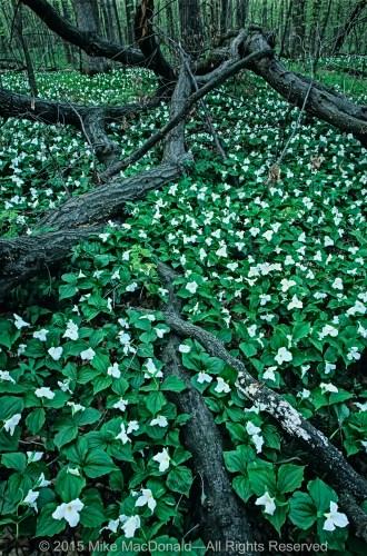 White trillium carpet the woodland floor at Messenger Woods in Homer Glen, Illinois.