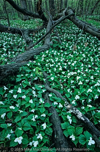 Large-flowered trillium carpet the woodland floor at Messenger Woods in Homer Glen, Illinois.*