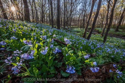 At O'Hara Woods in Romeoville, Illinois, the April sun rises to warm the springtime woodland brimming with Virginia bluebells.