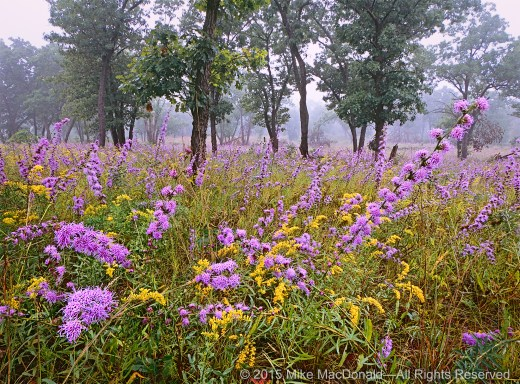 The celebration of rough blazing star and field goldenrod is probably Pembroke's most prolific performance of the year, but it's by no means the only one. This rich community of plants puts on many shows throughout the growing season.