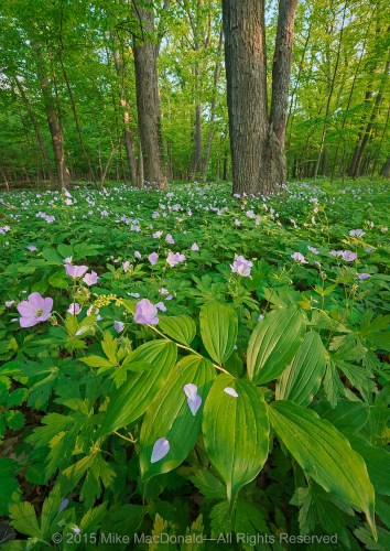 At Raccoon Grove, as evening nears in this beautiful spring woodland, the final streaks of sunlight penetrate the emerald canopy. The shining rays highlight the broad leaves of false Solomon's seal and animate the soft, pink blooms of wild geranium, making all that is illuminated stand apart from the surrounding foliage.