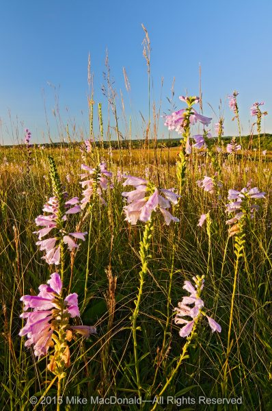 Atop this hill prairie called Shoe Factory Road Prairie, obedient plant and Indian grass take in the view.*