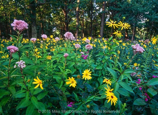 In 1985, this area was cast in total darkness, a dirt floor under an endless gray barrier of scraggly buckthorn. Now, after lots of love from volunteers, it is the edge of a woodland, well lit and teeming with tall flowers that reach for the sun.*
