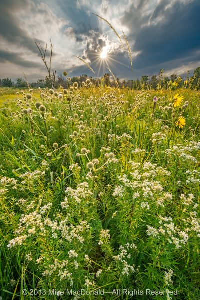 Summer storm clouds brew at Kickapoo Prairie where rattlesnake master, Indian grass, and compass plant glow in the sun.