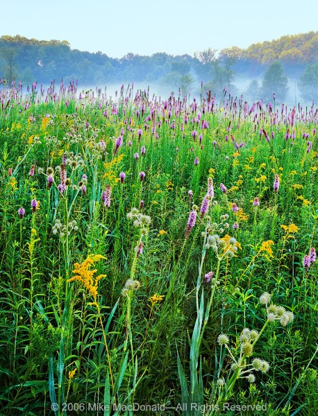 Here in late July at Spears Woods, wildflowers float above the prairie like musical notes in a symphony of color and texture.*