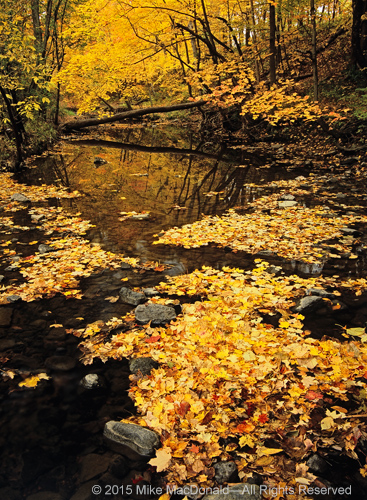 Every October, I am drawn to the banks of Sawmill Creek for the annual celebration of golden maples. On this particular day, the stream turned to a trickle, its rocky bed transformed into the staging area for a colorful, yet peculiar, parade—one that waits for rainfall in order to proceed.