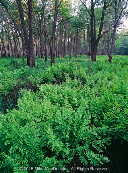 A forest of royal ferns thrives in a wetland that has formed at the base of a high dune.