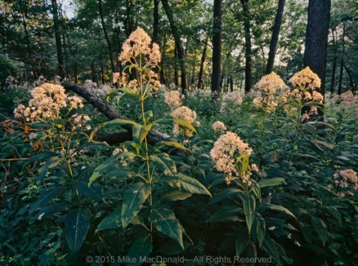 In the open woodland at Spears Woods in Willow Springs, Illinois, summer brings tall blooms of sweet Joe-Pye weed.*