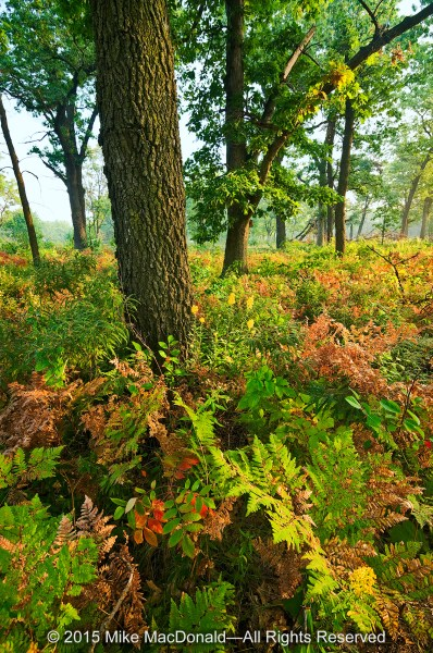 My favorite part of Hoosier Prairie State Nature Preserve is the trail that winds beneath the black oaks of the savanna. Here, ferns begin to don the colors of autumn.*