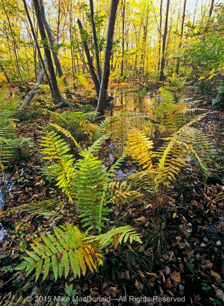 At Indiana Dunes National Lakeshore, acrobatic cinnamon ferns take hold in the soggy ground of Cowles Bog, which is not a bog at all but, rather, a wetland known as a fen.