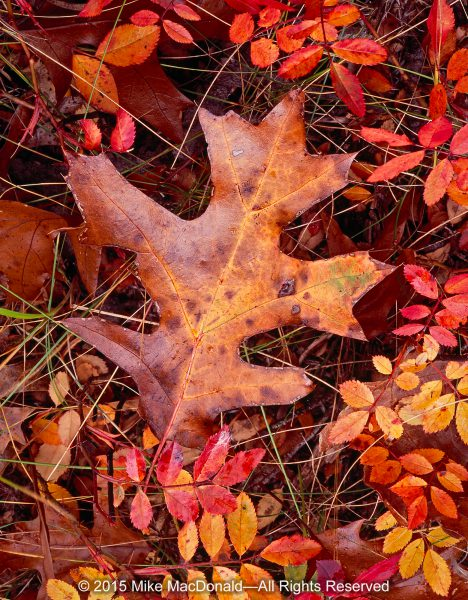 In the fall at Illinois Beach Nature Preserve, don't just stare up at the trees. Look down. There's a bounty of color at your feet. Here, a black oak leaf landed amidst a bed of pasture rose with leaves more vibrant than any tree in this savanna.