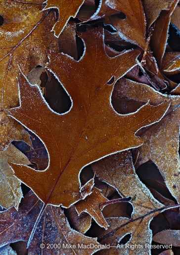 At Spears Woods, a patina of frost covered the woodland floor, decorating this oak leaf with an unbroken strand of silver garlend.*
