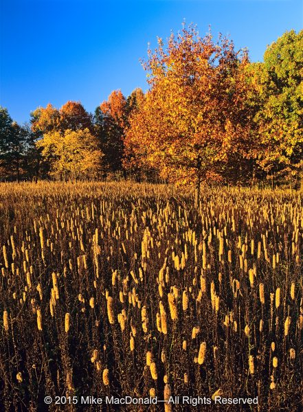 At Spears Woods, with the warm evening light falling on this October prairie, the tubular tops of blazing star burned with a golden glow; but not two months earlier, they blazed with purple passion. Autumn transformed the cylindrical inflorescence of hundreds of feathery purple flowers into a column of invisible seeds—invisible because what we see is not the seed but the achene, a dry fruit with a single seed hidden inside. On this plant, also known as gayfeather, each achene, by design, forms a downy tan plume that takes to the air to be scattered by the wind.