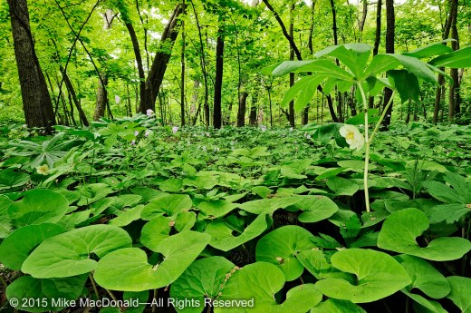 At Black Partridge Woods, take a look underneath the fanning mayapple leaf, and you may find a hidden waxy, white bloom. You may also discover a burgundy flower hiding beneath the heart-shaped leaves of wild ginger.*