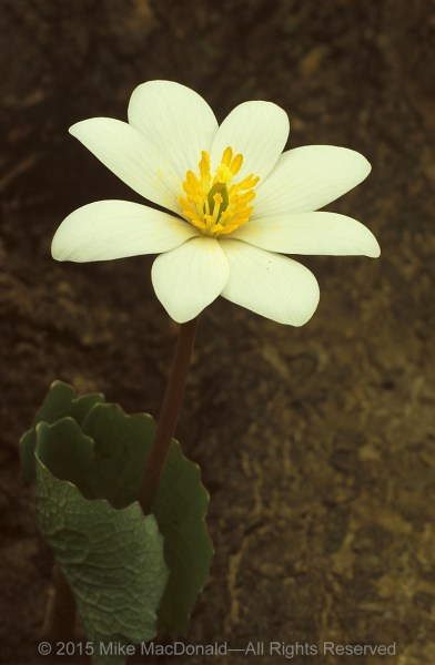 This is bloodroot. The name comes from the fact that breaking the stem or the roots makes the plant bleed red. Please, just take my word for it, and don't pick the flower to find out. Native Americans used the plant for dying their clothes and baskets, and for body paint.