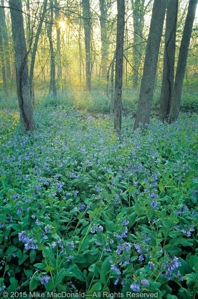 April at Messenger Woods in Homer Glen features a breathtaking display of Virginia bluebells.*