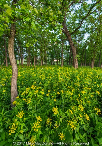 Golden Alexander brightens the oak savanna at Somme Prairie Grove in Northbrook.