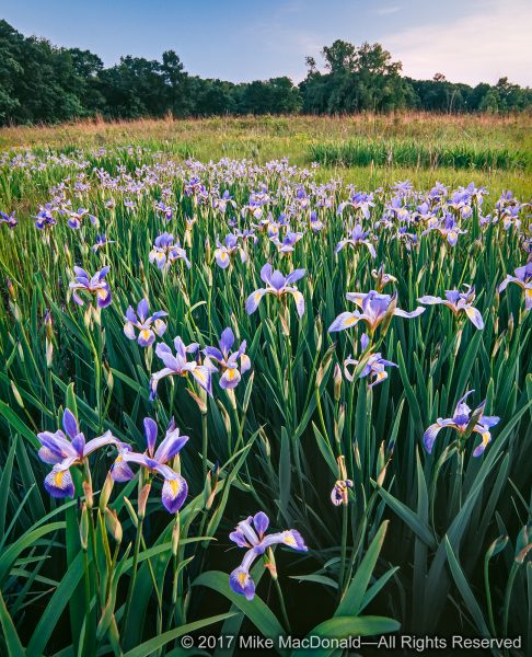 A phalanx of bue flag iris towers over the spring wetland at Somme Prairie Grove in Northbrook, Illinois*