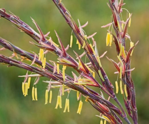 Miniature flowers delicately hang from the tassel of big bluestem grass.*