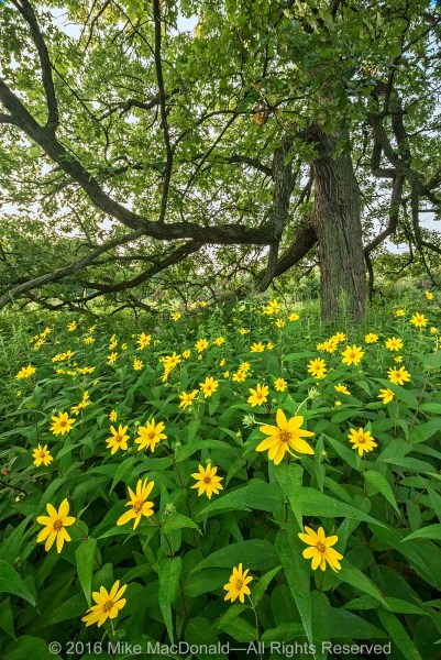 At Somme Prairie Grove, woodland sunflowers surround this majestic bur oak in the savanna.*