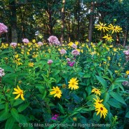 Chicago Wildflower Report & COVID-19 Nature Outings – 08/21/2020