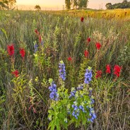 Chicago Region Tops U.S. National Parks in Native Plant Biodiversity! – Part 1