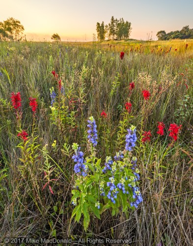 Great blue lobelia and cardinal flower in the panne at Montrose Beach Dunes in Chicago, Illinois.*