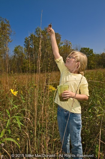 Saige Cox gathers Indian grass seed as she helps restore Kickapoo Prairie in Riverdale, Illinois.