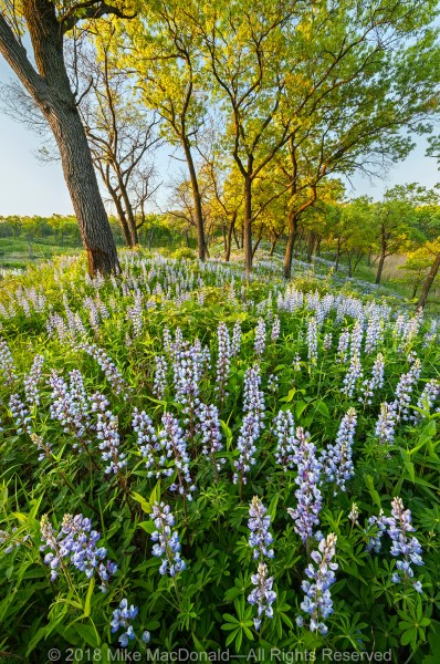 Atop this spring dune thrives wild lupine at Miller Woods Nature Preserve, part of Indiana Dunes National Lakeshore in Gary, Indiana.*