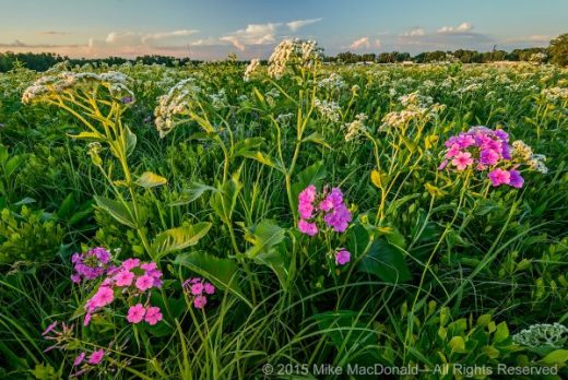 The summer sun goes down on wild quinine and marsh phlox as nonstop tollway traffic rolls past its eastern border. Each hour of each day, people drive by, unaware of the natural treasures they'd discover by taking the West 159th Street exit.*
