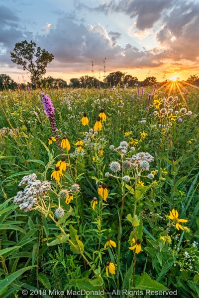 In July, Wolf Road Prairie gives a lesson in biodiversity. Pictured are prairie blazing star, wild quinine, rattlesnake master, flowering spurge, rosinweed, and yellow coneflower.*