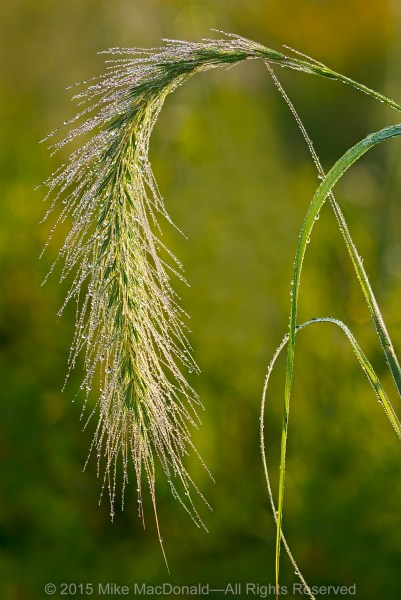 The plume of Canada wild rye covered drenched in morning dew at Bluff Spring Fen in Elgin, Illinois.