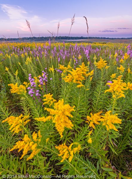 In late August, tall goldenrod and purple rough blazing star contribute to an explosion of color at Lake in the Hills Fen.