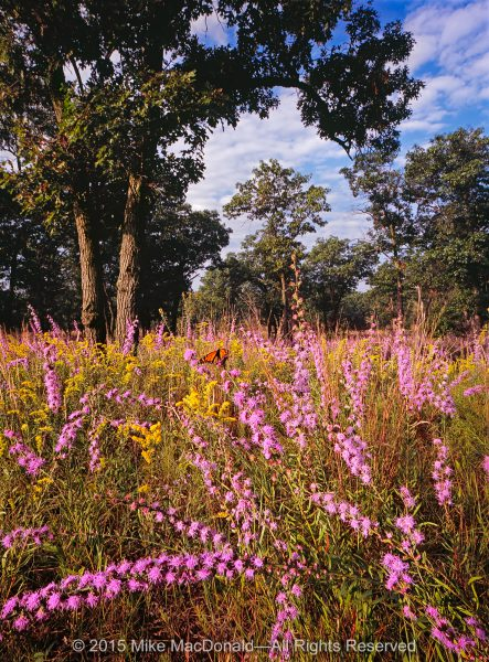 At Pembroke Savanna in Hopkins Park, Illinois, early September explodes with rough blazing star.*